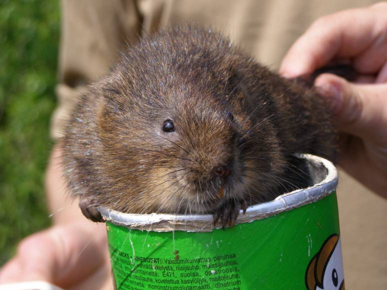 Water Vole in Tube