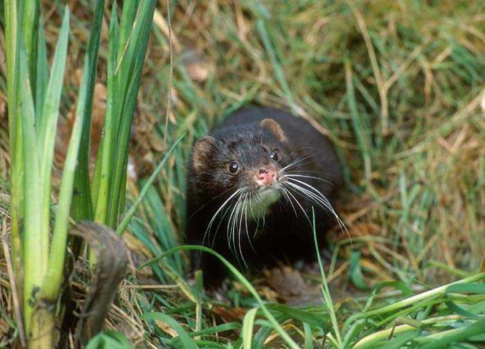 Mink in Grass